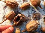 国家食药监局:35家餐饮单位食品中检测出罂粟壳成分