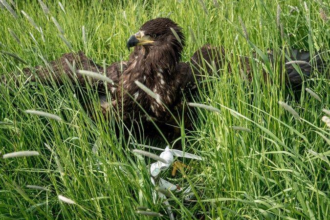 老鹰抓到一台无人机并送回地面,然后得到了奖励:一块肉肉