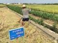 """湖南重金属污染试验田再""""续命"""":土壤修复出路何在?"""