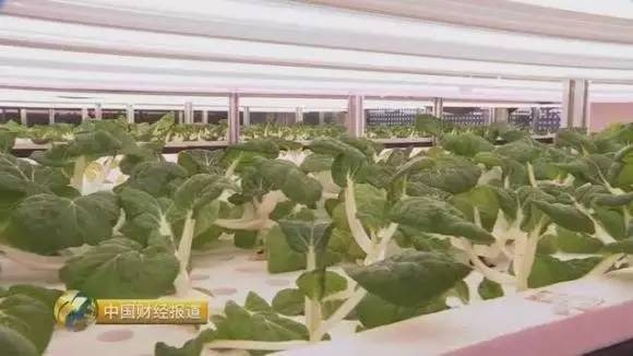 央视揭秘智能LED植物工厂技术