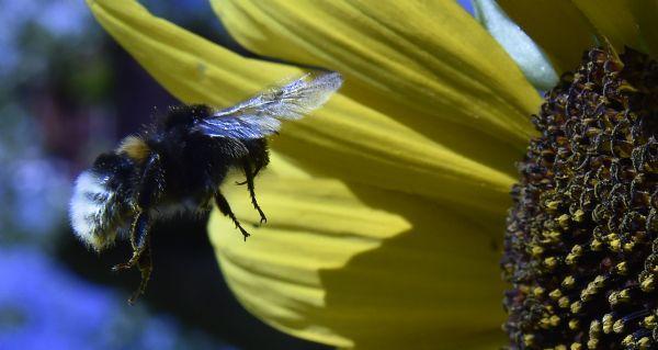 运用RFID 研究大黄蜂不为人知的分工模式