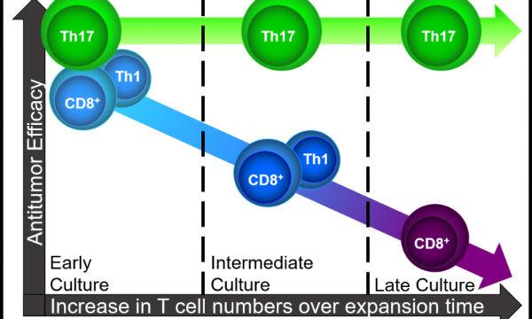 th17细胞可作为肿瘤过继细胞治疗的新选择