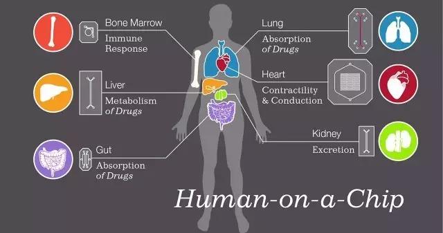 哈佛团队借助干细胞模拟出人类药筛器官