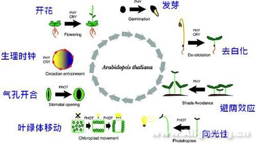 植物光生理与LED在植物照明优势