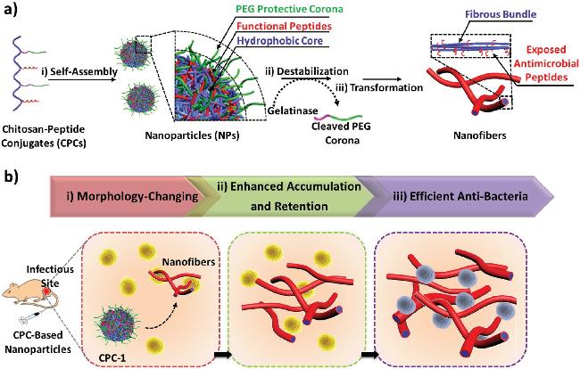 """国家纳米科学中心Adv. Mater.:一种应对细菌感染的""""活体原位重组装""""治疗策略"""