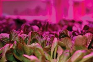绿黄光LED带来高产量高营养蔬菜