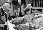 """日本核辐射重污染区解封 """"变异野猪""""毁灭处理"""