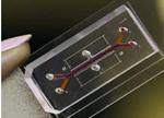 微流体器官芯片可建立肾小球模型