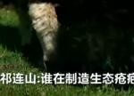 祁连山生态保护调查:谁在制造生态疮疤?