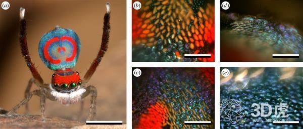 研究人员使用纳米3D打印技术研究孔雀蜘蛛显示的彩虹色