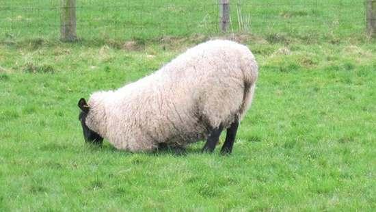 可穿戴式传感器可早期检测羊群的跛行病