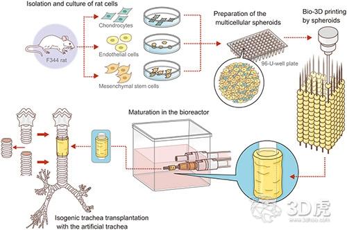 研究人员成功将3D打印无支架人造气管植入大鼠