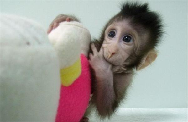 癌症有望治愈?两只克隆猴诞生