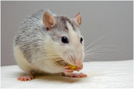 研究人员使用纳米机器人来杀死老鼠体内的肿瘤