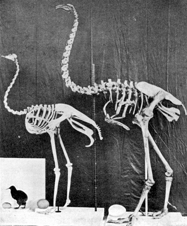 研究报道:科学家有望复活已经灭绝700年的鸟类