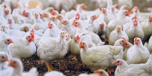 变废为宝!日本鸡场鸡粪发电大获成功 卖鸡又卖电属日本头一遭