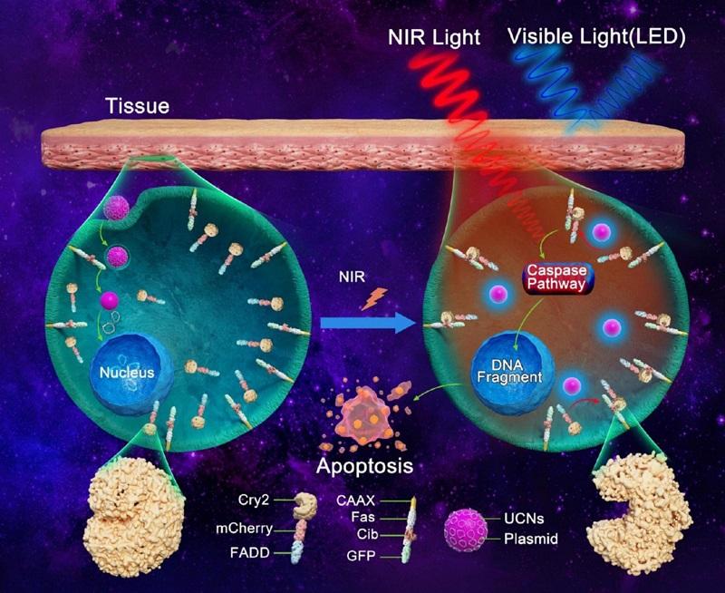 稀土纳米材料助力纳米光遗传技术微创治疗肿瘤