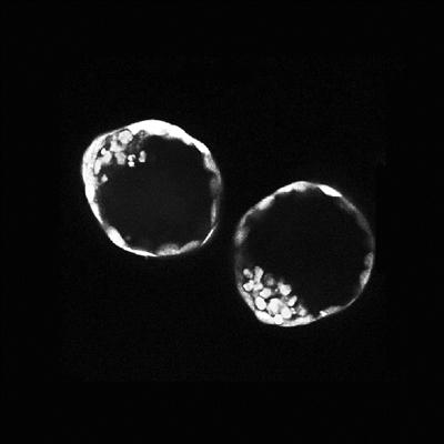 """小鼠干细胞可在体外形成""""类胚胎""""结构 为科学界提供早期发育的细胞培养模型"""