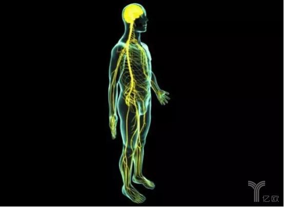 脑干和脊髓:属于最低层,负责运动的执行,具体控制肌肉的骨骼的运动
