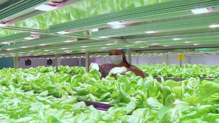 总投资约800万元 6600平方米植物工厂在渝建成投产
