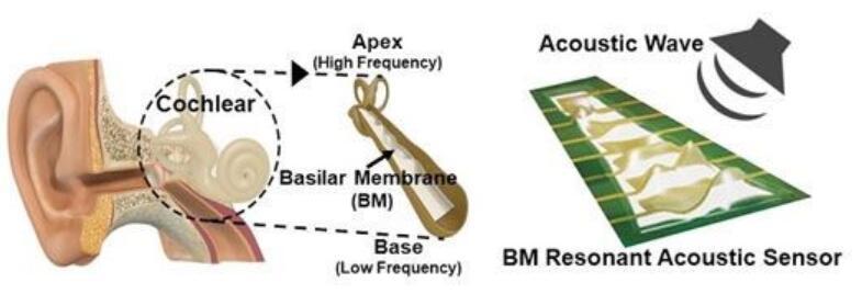 韩国团队根据人类耳蜗中的基底膜 制造出压电式声学传感器