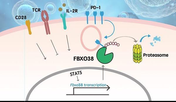肿瘤治疗新成果!中国科学家揭示PD-1分子降解机制