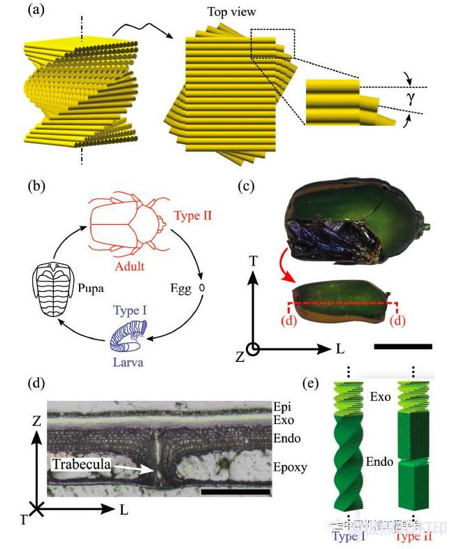 美国西北大学多材料3D打印仿生螺旋结构
