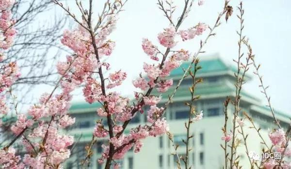 移动用5G技术在武大直播赏樱花
