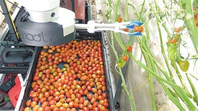解放双手 美创企开发采摘西红柿机器人