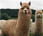 羊駝產生的抗體可滅新冠病毒?