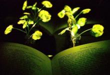科学家再培育出夜间发光植物