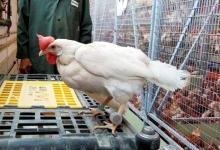 养殖也要精细化 动物也配上可穿戴设备