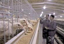 物联网养鸡养猪更轻松实现智慧养殖