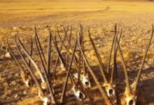 可可西里申遗成功背后的生态保护