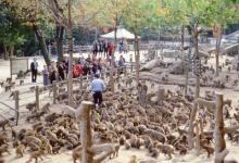 流浪猴搞破坏 日本农民派无人机驱赶
