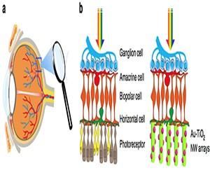 人造光感受器恢复盲鼠视力 或将造福人类