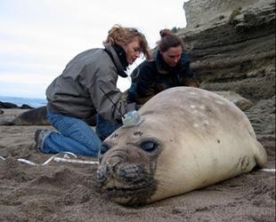 这群人抓住海狮给它装上了奇怪仪器