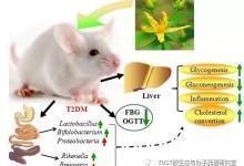 揭乌腺金丝桃调控肠道菌群降糖功效机制