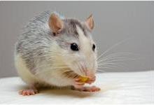 纳米机器人杀死老鼠体内的肿瘤