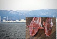 """日本福岛核电站附近海域发现""""辐射鱼"""""""