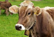 美国农民使用AI监测奶牛活动情况
