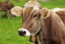 美国农民使用人工智能监测奶牛