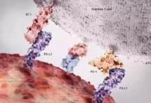 抗PD-L1强效肿瘤疫苗