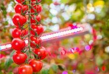 Signify与Agro-Inwest签署协议 扩容LED园艺照明项目