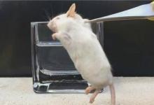 用AI验毒,小白鼠们也许有救了