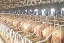 养猪场环境监测用的4种传感器