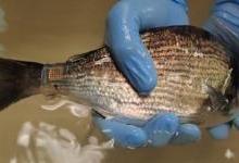 """科学家研发出更小版本的""""海洋皮肤""""贴片"""